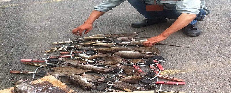 Công ty diệt chuột tại Bình Thạnh