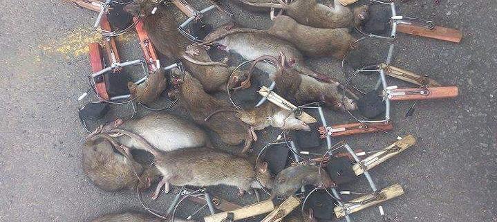 Dịch vụ diệt chuột thủ đô Hà Nội