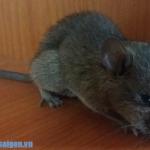 Diệt chuột hiệu quả ở Trà Vinh