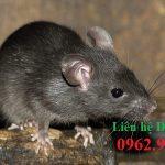 Dịch vụ diệt chuột hàng đầu Hưng Yên – Diệt muỗi, ruồi