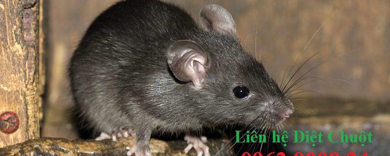 Dịch vụ diệt chuột hàng đầu Hưng Yên