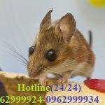 Công ty diệt chuột giá rẻ-chất lượng hàng đầu tại Quận 5