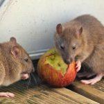 Dịch vụ diệt chuột chuyên nghiệp nhất tại Quận 8