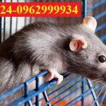 Công ty diệt chuột giárẻ, chất lượng, hiệu quả tại Quận Gò Vấp