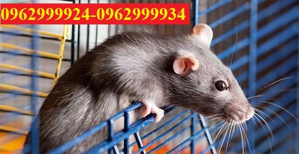 Dịch vụ diệt chuột hàng đầu tại Quận 4