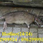 Diệt chuột uy tín, chuyên nghiệpnhất tại Tân Phú