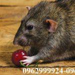 Công ty diệt chuột giá rẻ, chuyên nghiệp hàng đầu tại Quận Củ Chi
