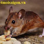 Dịch vụ xử lý chuột chất lượng – chuyên nghiệp tại Quận 11