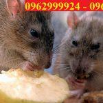 Trung tâm kiểm soát chuột-Ngăn ngừa chuột tại Quận Thủ Đức