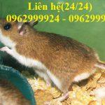 Công ty diệt chuột, xử lý chuột tận gốc tại nhà ở Quận 12